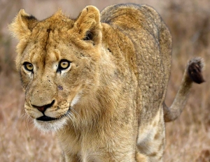 closeup photography of lioness