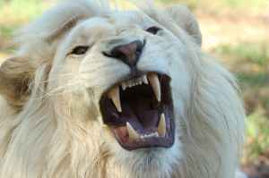 nature lion south africa whitelion