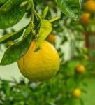 closeup photo of round green fruit