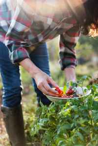 woman picking cherry tomatoes