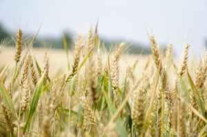 agriculture arable barley blur