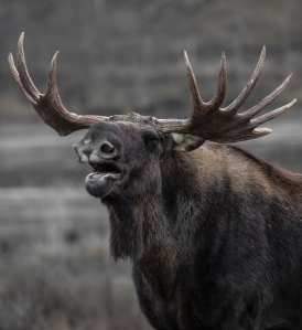 brown moose