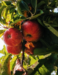 apple apple tree apples branch