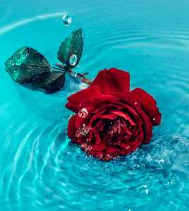 red rose flower on body of water